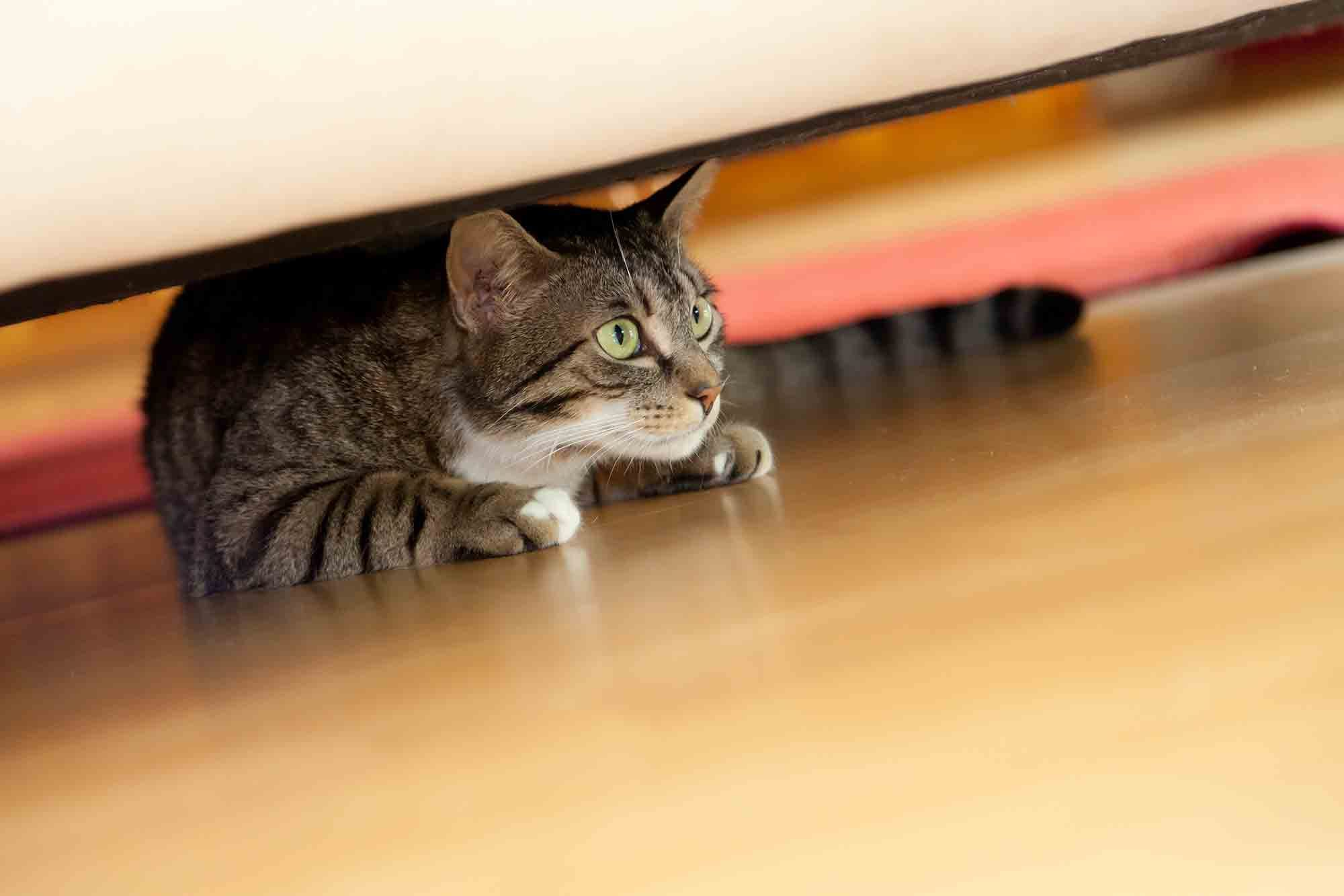 Striped cat under a couch