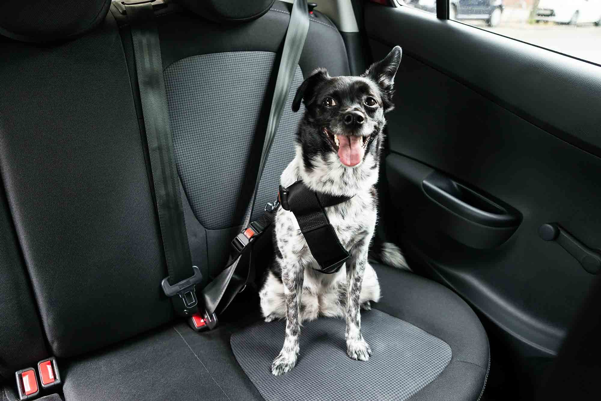 A medium white and black dog sitting contently in the back sear of a car, wearing a doggy seatbelt, one ear up, happy to go for a ride.
