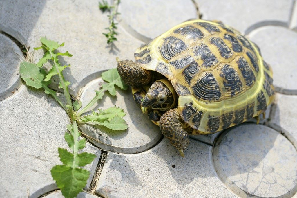 Turtle outside approaching a weed