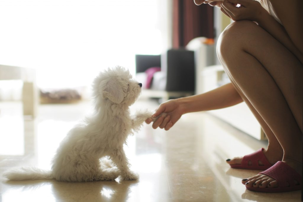 Small white dog sitting shaking paw with owner