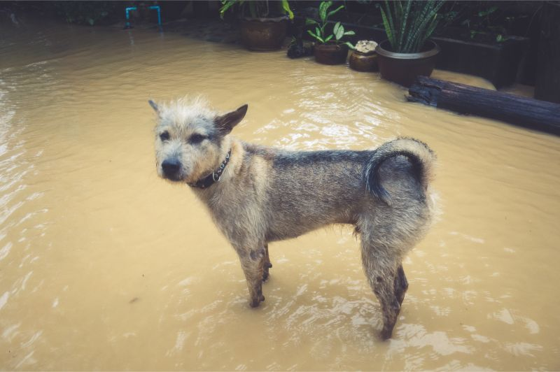 Medium Sized dog standing in a flooded area